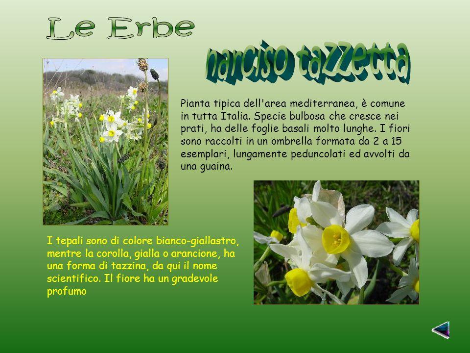 Pianta tipica dell area mediterranea, è comune in tutta Italia.