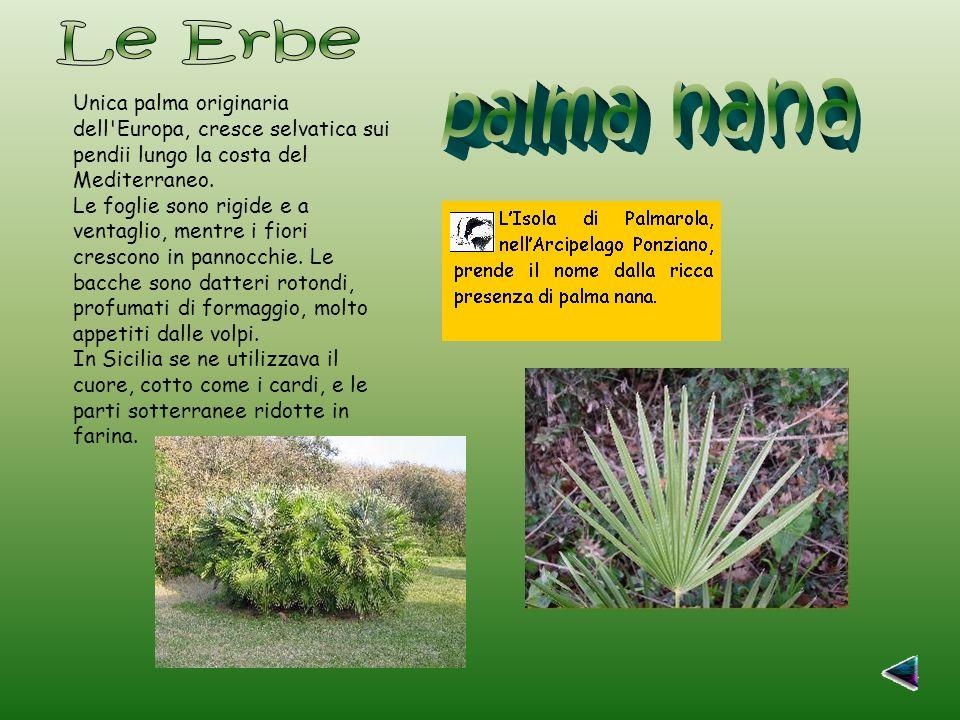 Unica palma originaria dell Europa, cresce selvatica sui pendii lungo la costa del Mediterraneo.