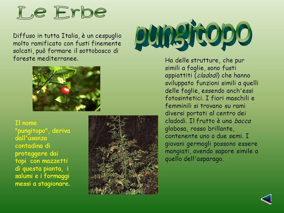 Diffuso in tutta Italia, è un cespuglio molto ramificato con fusti finemente solcati, può formare il sottobosco di foreste mediterranee.