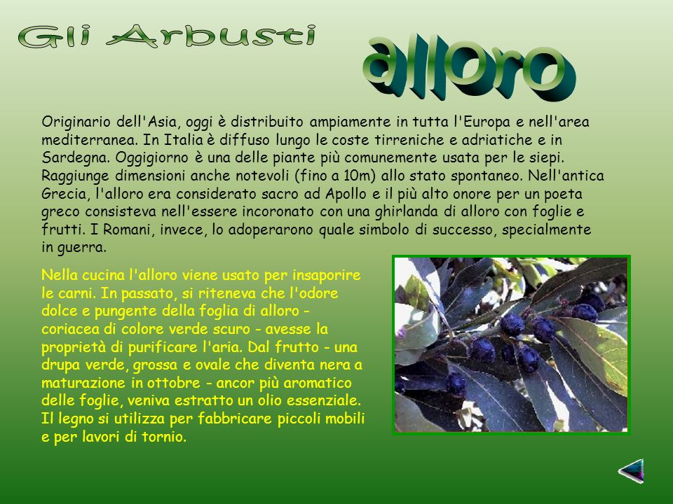 Nella cucina l alloro viene usato per insaporire le carni.