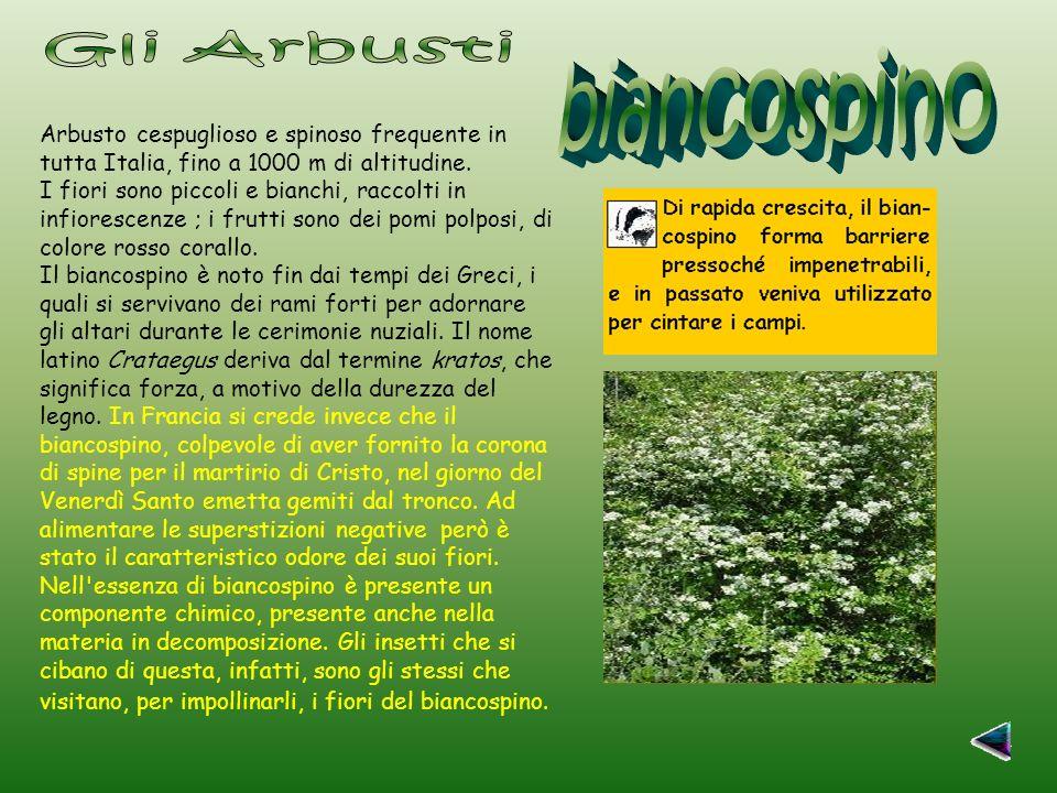 Arbusto cespuglioso e spinoso frequente in tutta Italia, fino a 1000 m di altitudine.