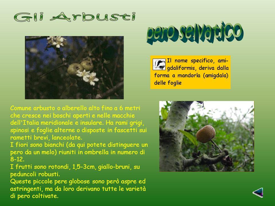 Comune arbusto o alberello alto fino a 6 metri che cresce nei boschi aperti e nelle macchie dell Italia meridionale e insulare.