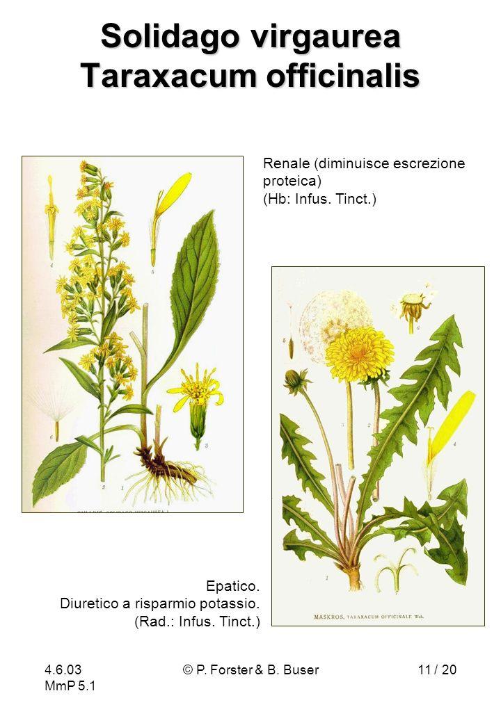 4.6.03 MmP 5.1 © P. Forster & B. Buser11 / 20 Solidago virgaurea Taraxacum officinalis Epatico. Diuretico a risparmio potassio. (Rad.: Infus. Tinct.)