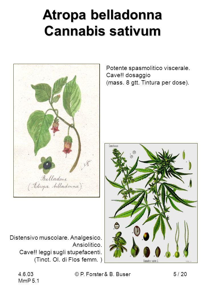 4.6.03 MmP 5.1 © P. Forster & B. Buser5 / 20 Atropa belladonna Cannabis sativum Potente spasmolitico viscerale. Cave!! dosaggio (mass. 8 gtt. Tintura
