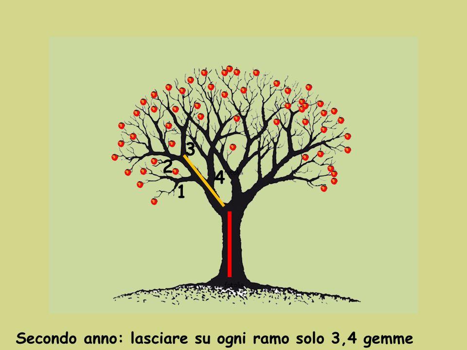 Secondo anno: lasciare su ogni ramo solo 3,4 gemme 1 2 3 4