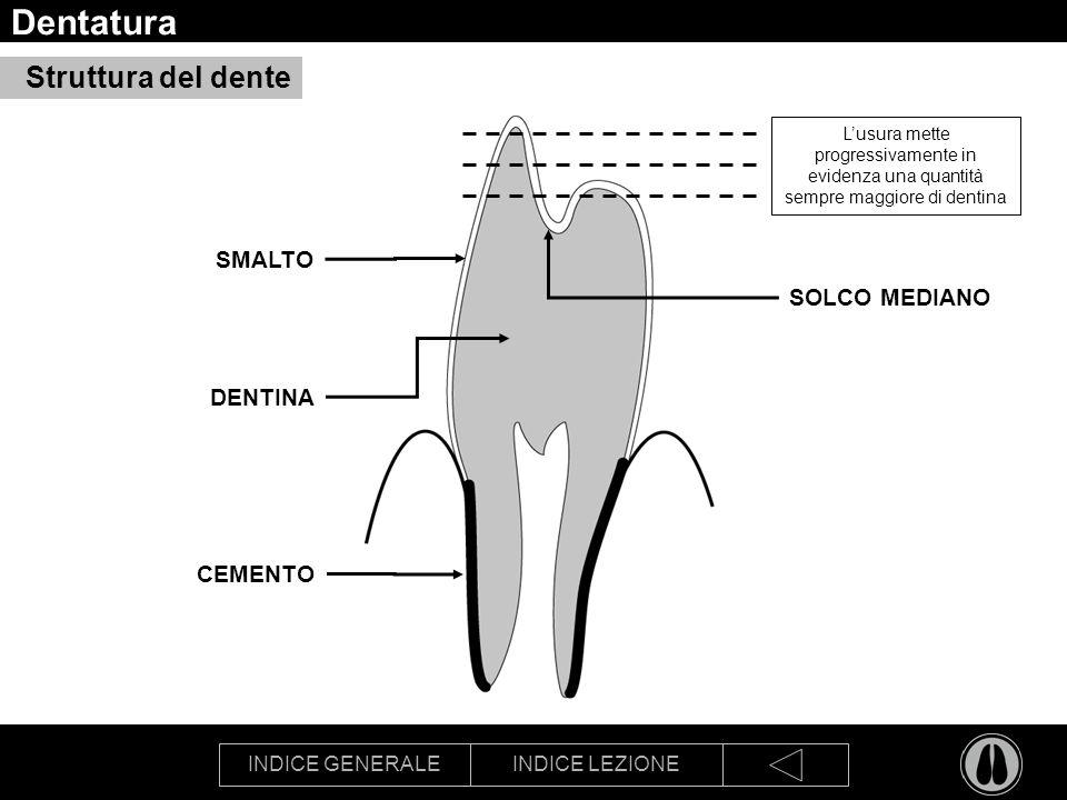 INDICE GENERALEINDICE LEZIONE Dentatura Struttura del dente SMALTO DENTINA CEMENTO SOLCO MEDIANO Lusura mette progressivamente in evidenza una quantità sempre maggiore di dentina
