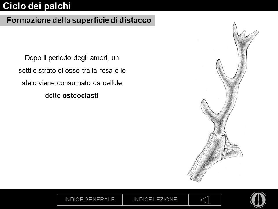 INDICE GENERALEINDICE LEZIONE Ciclo dei palchi Formazione della superficie di distacco Dopo il periodo degli amori, un sottile strato di osso tra la rosa e lo stelo viene consumato da cellule dette osteoclasti