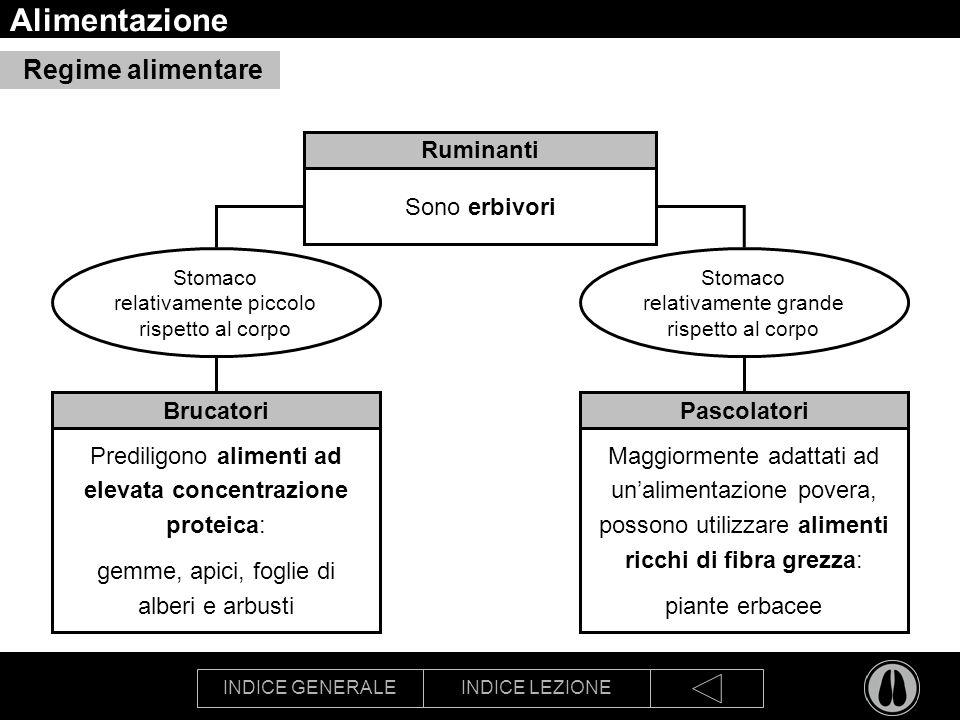 INDICE GENERALEINDICE LEZIONE Alimentazione Ruminanti Sono erbivori Regime alimentare Brucatori Prediligono alimenti ad elevata concentrazione proteic
