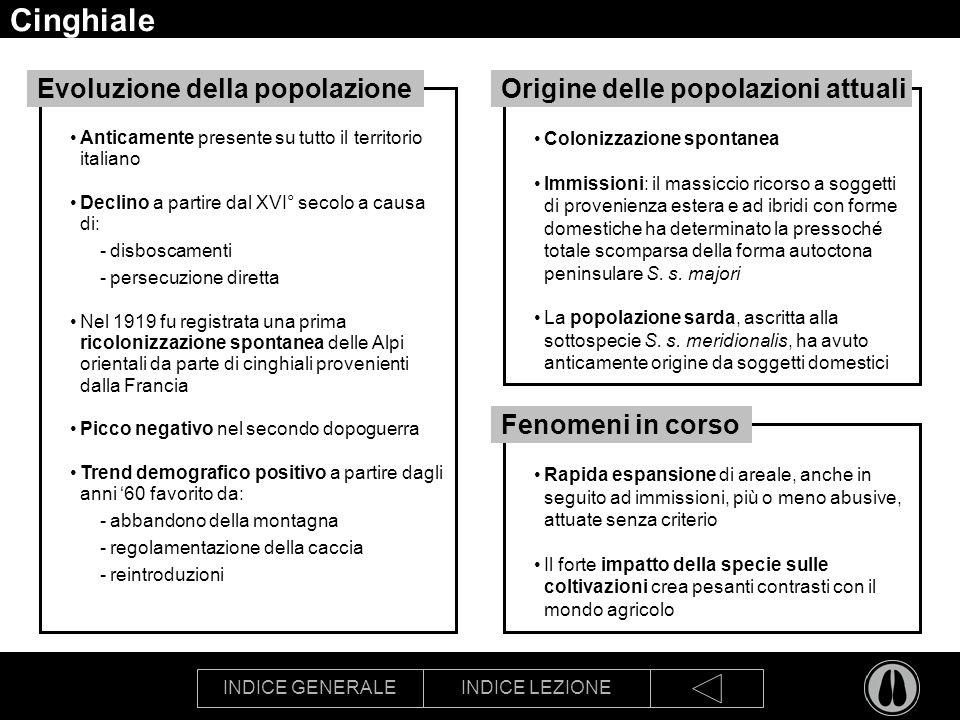 INDICE GENERALEINDICE LEZIONE Cinghiale Anticamente presente su tutto il territorio italiano Declino a partire dal XVI° secolo a causa di: -disboscamenti -persecuzione diretta Nel 1919 fu registrata una prima ricolonizzazione spontanea delle Alpi orientali da parte di cinghiali provenienti dalla Francia Picco negativo nel secondo dopoguerra Trend demografico positivo a partire dagli anni 60 favorito da: -abbandono della montagna -regolamentazione della caccia -reintroduzioni Evoluzione della popolazione Colonizzazione spontanea Immissioni: il massiccio ricorso a soggetti di provenienza estera e ad ibridi con forme domestiche ha determinato la pressoché totale scomparsa della forma autoctona peninsulare S.
