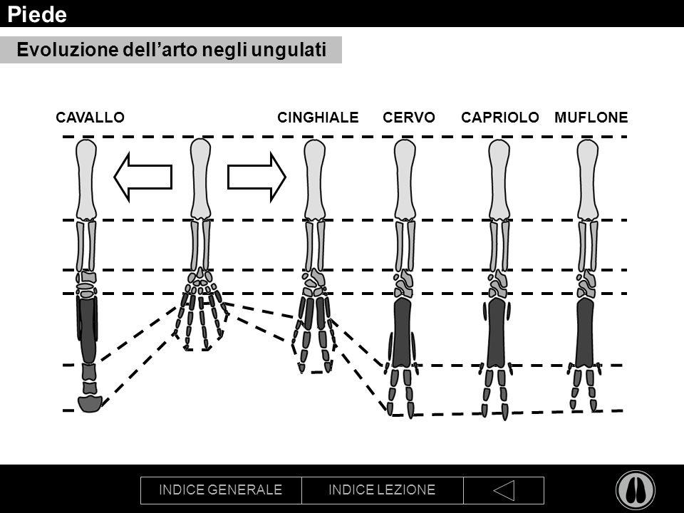 INDICE GENERALEINDICE LEZIONE Piede Evoluzione dellarto negli ungulati CINGHIALE CERVOCAPRIOLOMUFLONE CAVALLO