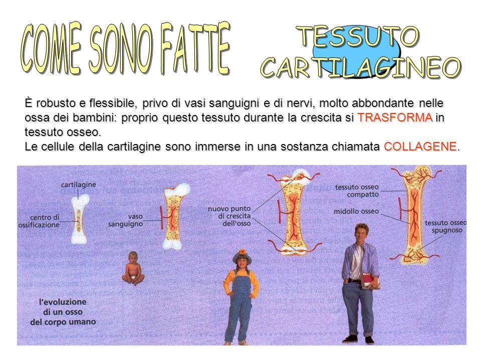 È robusto e flessibile, privo di vasi sanguigni e di nervi, molto abbondante nelle ossa dei bambini: proprio questo tessuto durante la crescita si TRASFORMA in tessuto osseo.