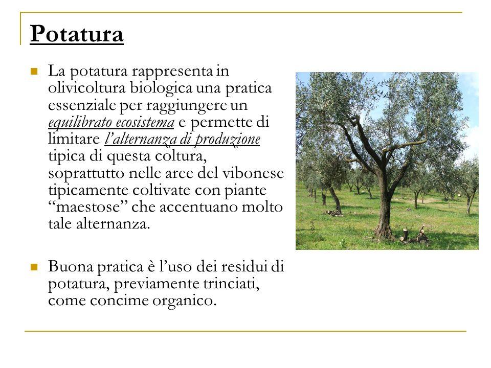 Potatura La potatura rappresenta in olivicoltura biologica una pratica essenziale per raggiungere un equilibrato ecosistema e permette di limitare lal