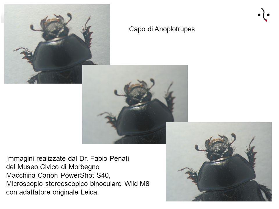 Capo di Anoplotrupes Immagini realizzate dal Dr.