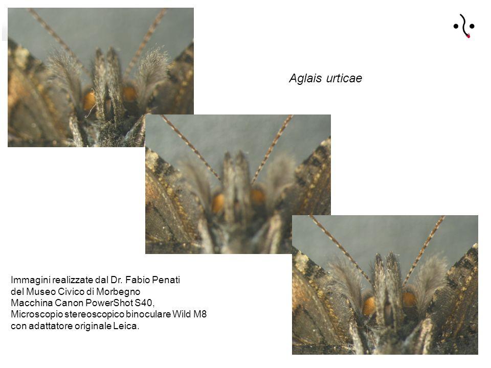 Aglais urticae Immagini realizzate dal Dr.
