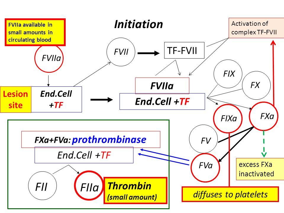 Initiation End.Cell +TF FVIIa FVII End.Cell +TF FVIIa FIX FIXa FX FXa FV FVa diffuses to platelets End.Cell +TF FXa+FVa: prothrombinase FII FIIa Throm