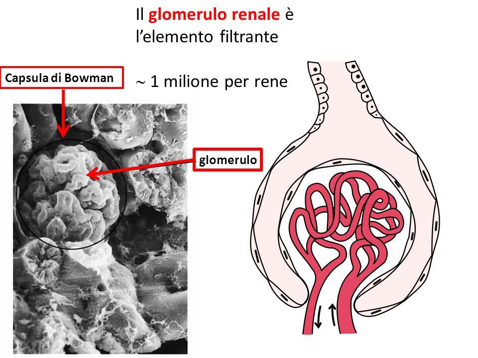 Il glomerulo renale è lelemento filtrante 1 milione per rene glomerulo Capsula di Bowman