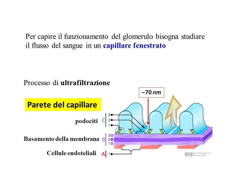 Per capire il funzionamento del glomerulo bisogna studiare il flusso del sangue in un capillare fenestrato podociti Basamento della membrana Cellule e