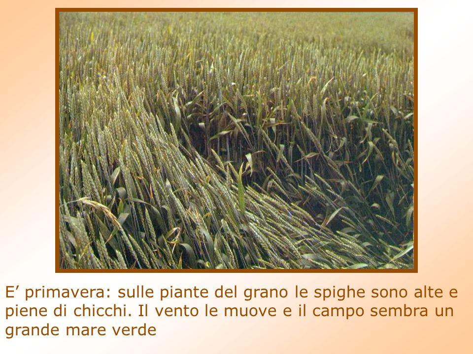 E primavera: sulle piante del grano le spighe sono alte e piene di chicchi.