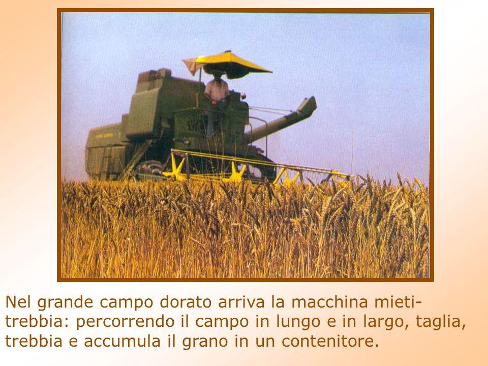 Nel grande campo dorato arriva la macchina mieti- trebbia: percorrendo il campo in lungo e in largo, taglia, trebbia e accumula il grano in un contenitore.