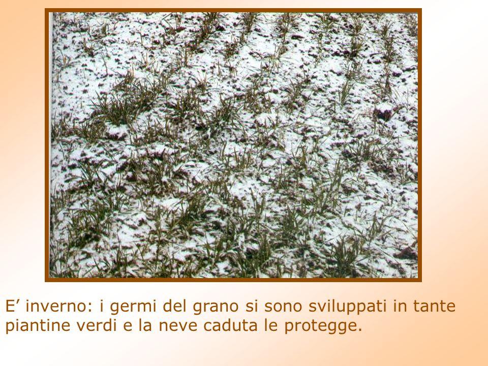 E inverno: i germi del grano si sono sviluppati in tante piantine verdi e la neve caduta le protegge.