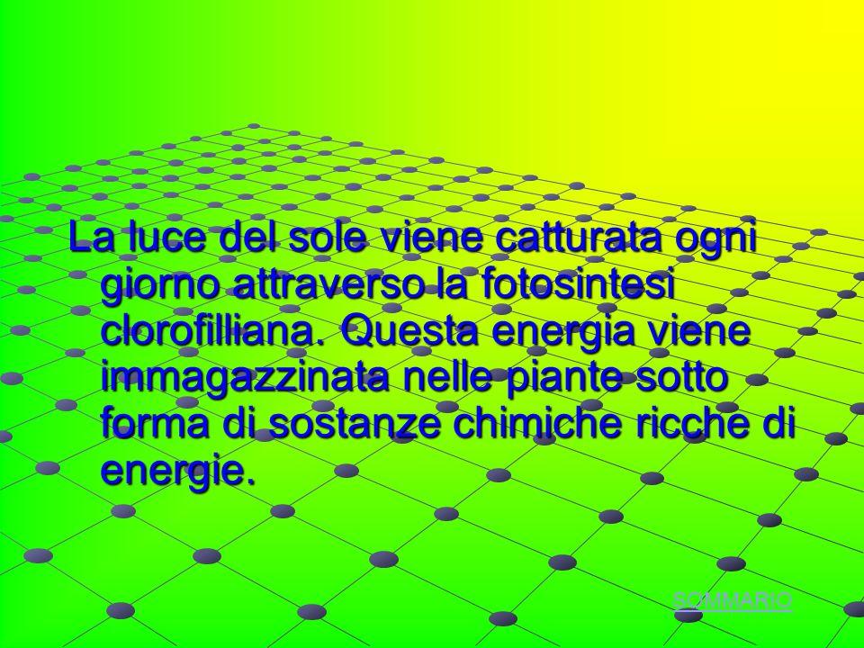 La luce del sole viene catturata ogni giorno attraverso la fotosintesi clorofilliana.