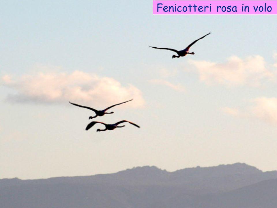 Fenicotteri rosa in volo