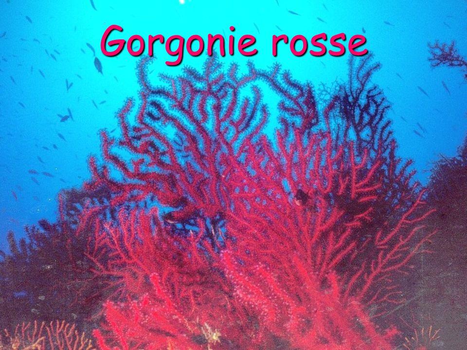 Gorgonie rosse
