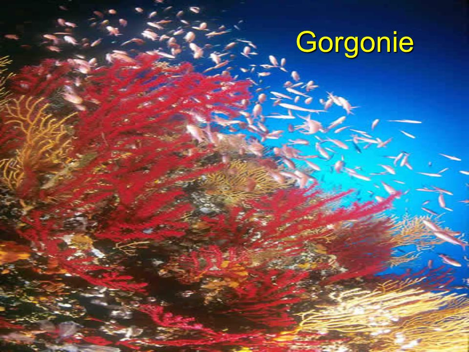 Gorgonie