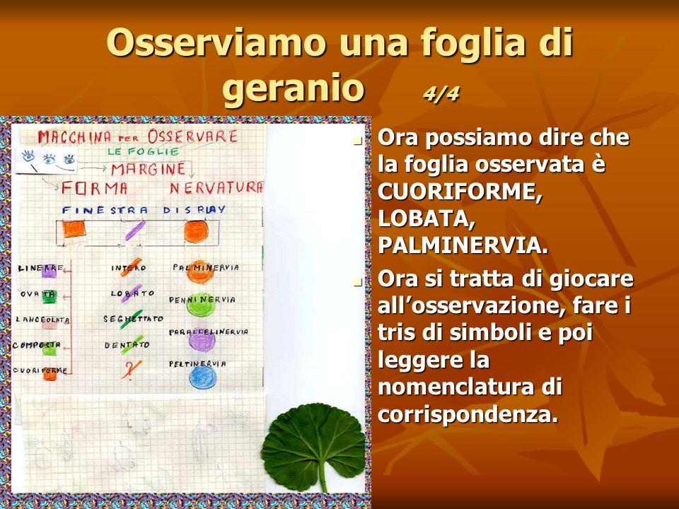 Osserviamo una foglia di geranio 4/4 Ora possiamo dire che la foglia osservata è CUORIFORME, LOBATA, PALMINERVIA.