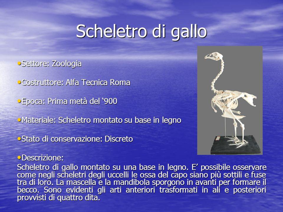 Scheletro di gallo Settore: Zoologia Settore: Zoologia Costruttore: Alfa Tecnica Roma Costruttore: Alfa Tecnica Roma Epoca: Prima metà del 900 Epoca: