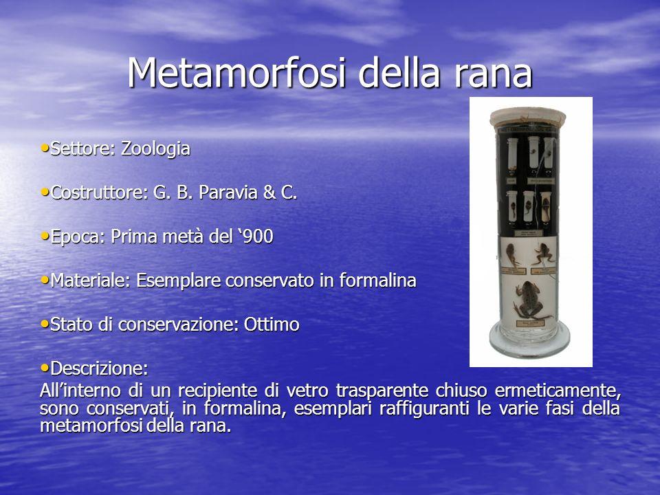 Metamorfosi della rana Settore: Zoologia Settore: Zoologia Costruttore: G. B. Paravia & C. Costruttore: G. B. Paravia & C. Epoca: Prima metà del 900 E