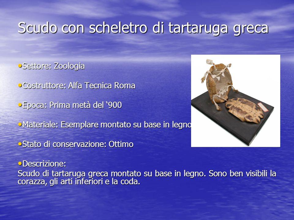 Scudo con scheletro di tartaruga greca Settore: Zoologia Settore: Zoologia Costruttore: Alfa Tecnica Roma Costruttore: Alfa Tecnica Roma Epoca: Prima