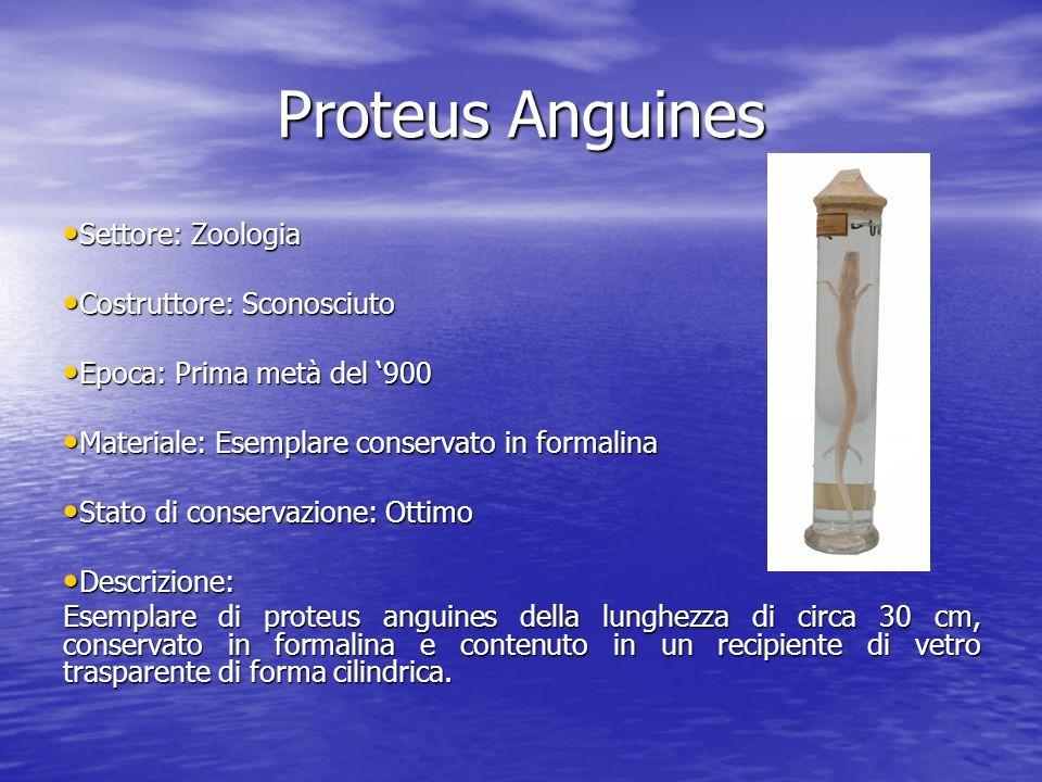 Proteus Anguines Settore: Zoologia Settore: Zoologia Costruttore: Sconosciuto Costruttore: Sconosciuto Epoca: Prima metà del 900 Epoca: Prima metà del