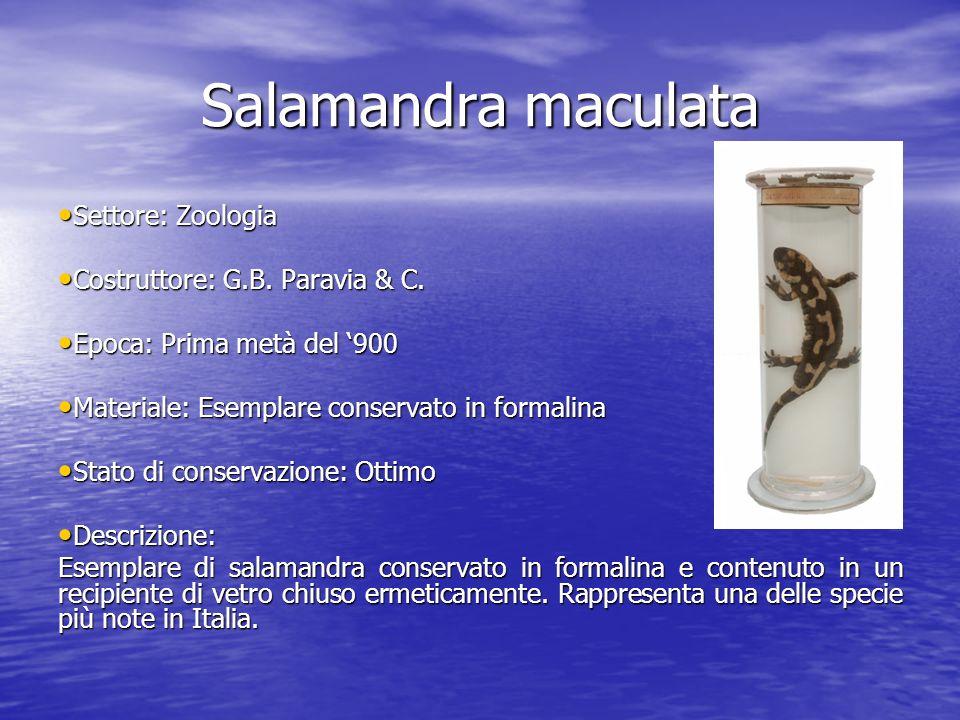 Salamandra maculata Settore: Zoologia Settore: Zoologia Costruttore: G.B. Paravia & C. Costruttore: G.B. Paravia & C. Epoca: Prima metà del 900 Epoca:
