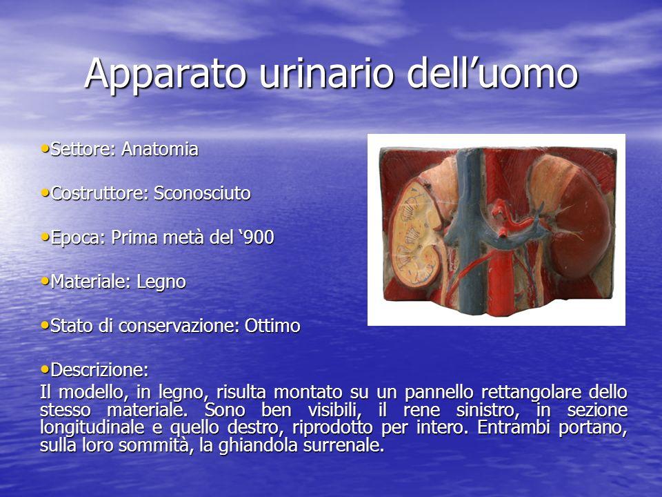 Apparato urinario delluomo Settore: Anatomia Settore: Anatomia Costruttore: Sconosciuto Costruttore: Sconosciuto Epoca: Prima metà del 900 Epoca: Prim