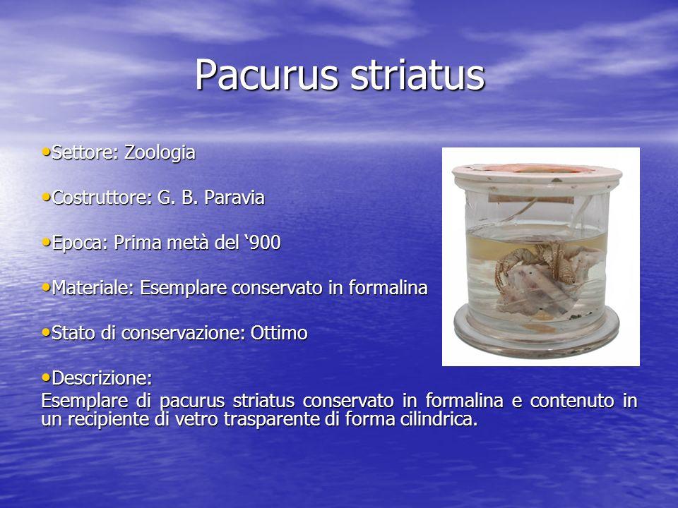 Pacurus striatus Settore: Zoologia Settore: Zoologia Costruttore: G. B. Paravia Costruttore: G. B. Paravia Epoca: Prima metà del 900 Epoca: Prima metà