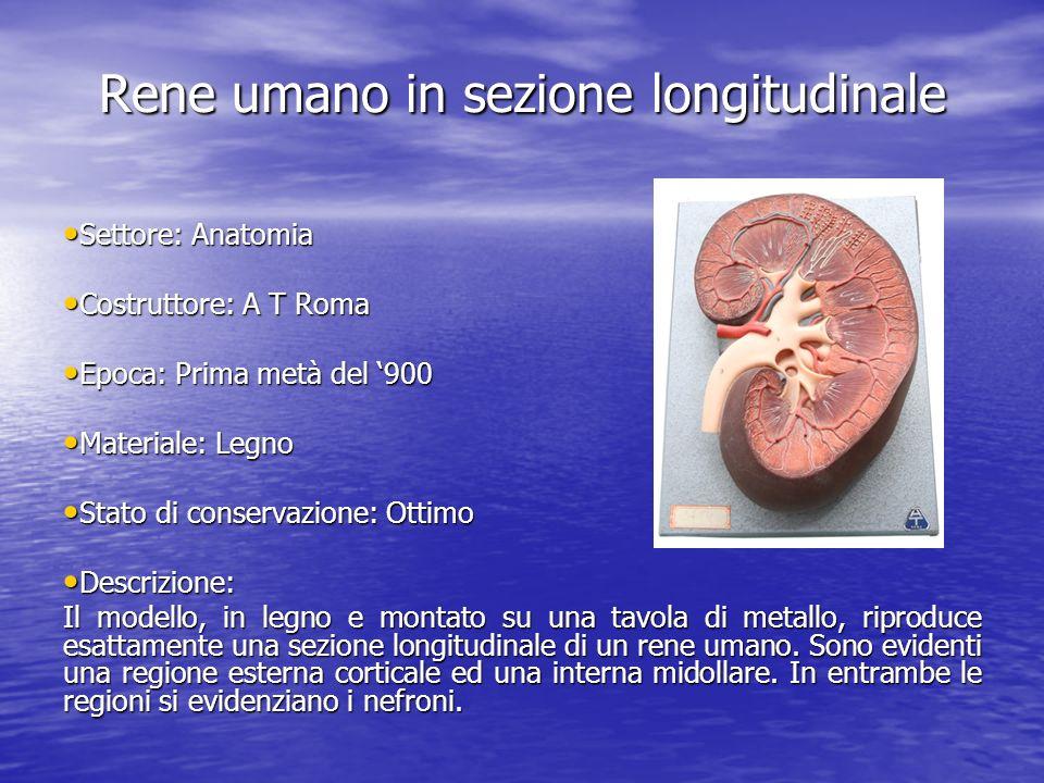 Rene umano in sezione longitudinale Settore: Anatomia Settore: Anatomia Costruttore: A T Roma Costruttore: A T Roma Epoca: Prima metà del 900 Epoca: P