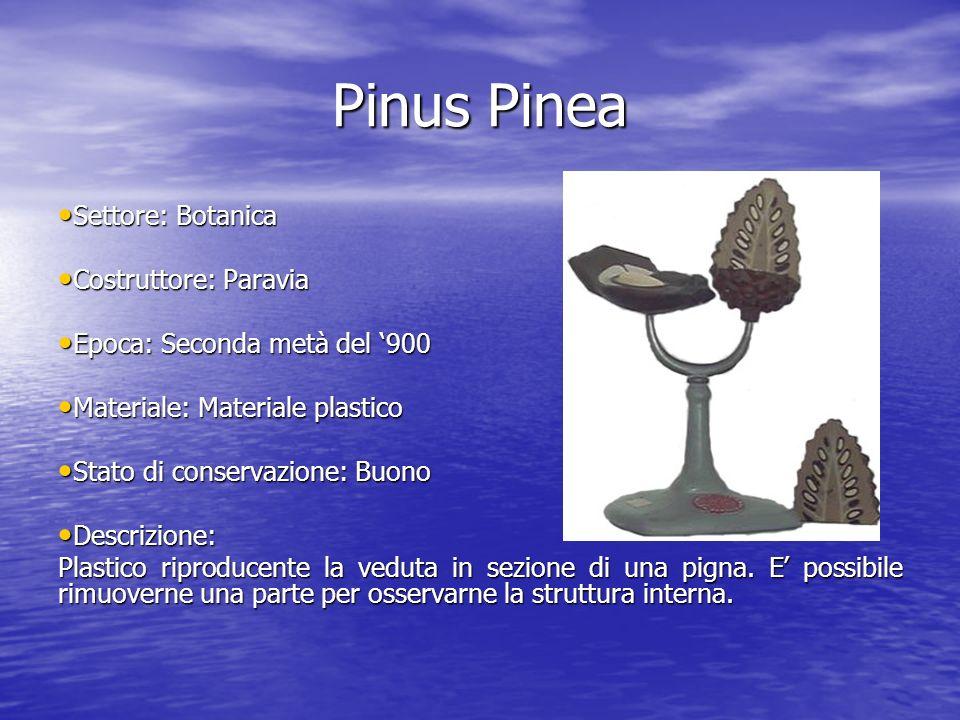 Pinus Pinea Settore: Botanica Settore: Botanica Costruttore: Paravia Costruttore: Paravia Epoca: Seconda metà del 900 Epoca: Seconda metà del 900 Mate
