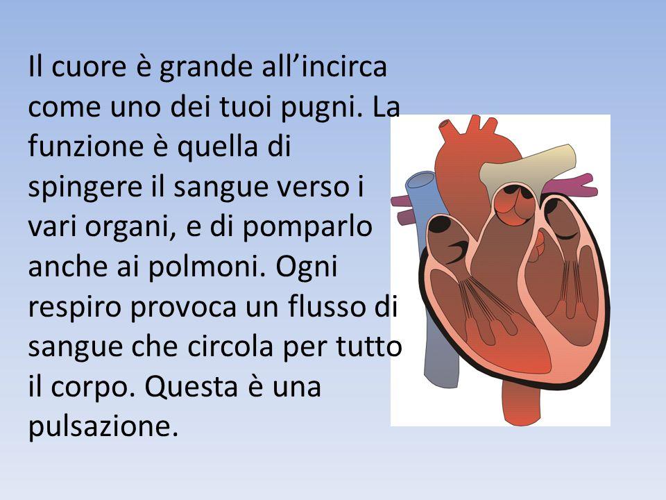 Il cuore è grande allincirca come uno dei tuoi pugni. La funzione è quella di spingere il sangue verso i vari organi, e di pomparlo anche ai polmoni.