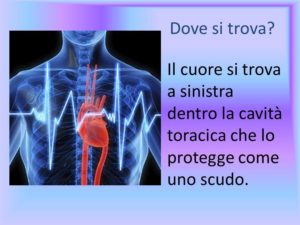 Dove si trova? Il cuore si trova a sinistra dentro la cavità toracica che lo protegge come uno scudo.