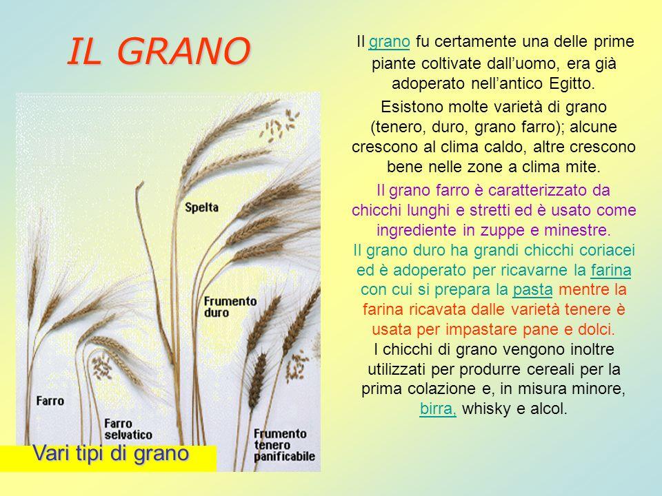 Il grano fu certamente una delle prime piante coltivate dalluomo, era già adoperato nellantico Egitto. Esistono molte varietà di grano (tenero, duro,