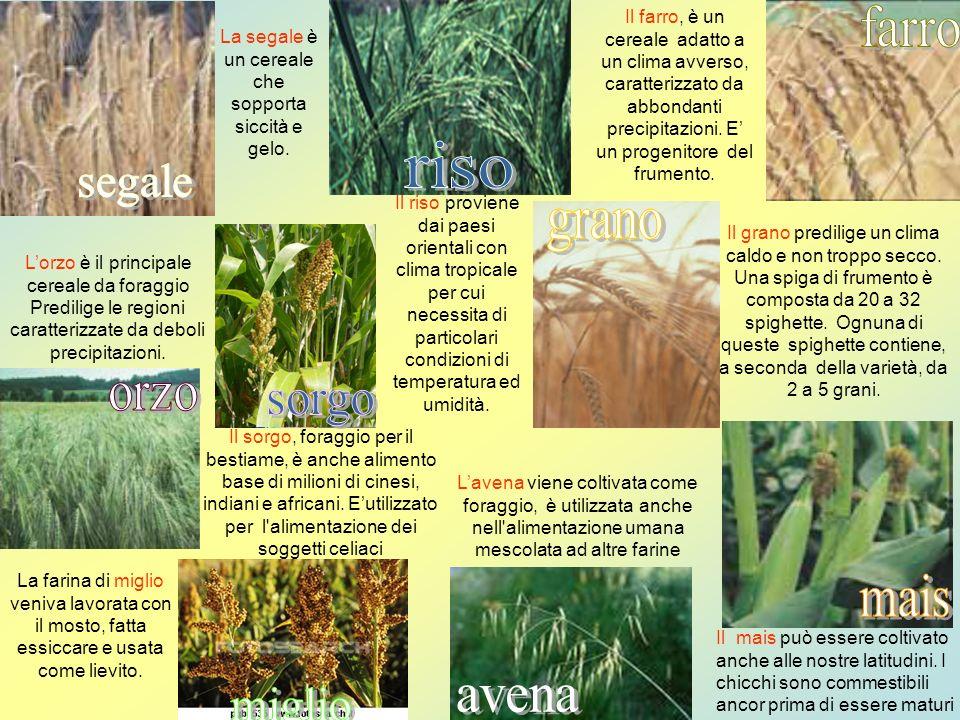 La segale è un cereale che sopporta siccità e gelo. Il farro, è un cereale adatto a un clima avverso, caratterizzato da abbondanti precipitazioni. E u