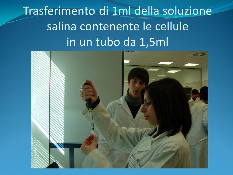 Trasferimento di 1ml della soluzione salina contenente le cellule in un tubo da 1,5ml