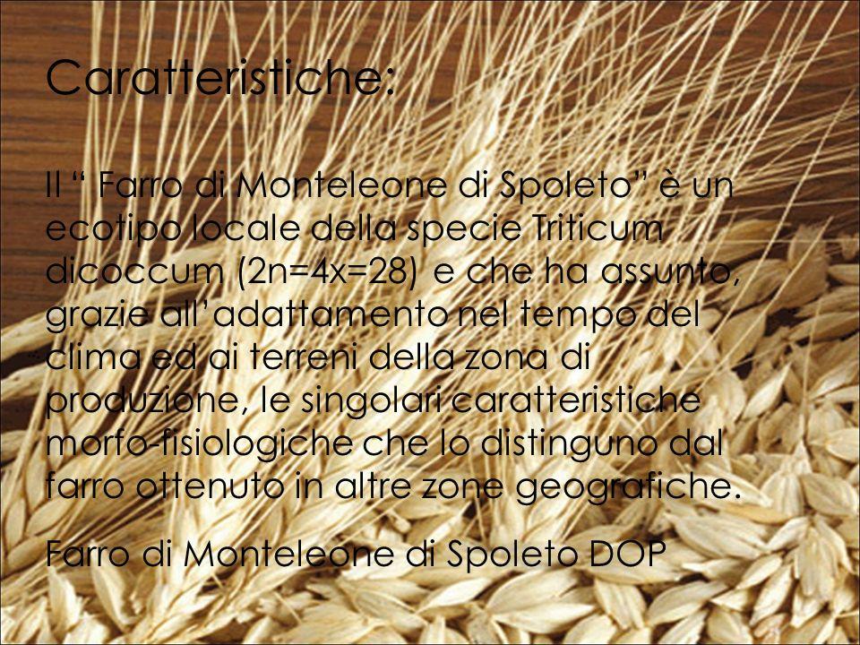 Caratteristiche: Il Farro di Monteleone di Spoleto è un ecotipo locale della specie Triticum dicoccum (2n=4x=28) e che ha assunto, grazie alladattamento nel tempo del clima ed ai terreni della zona di produzione, le singolari caratteristiche morfo-fisiologiche che lo distinguno dal farro ottenuto in altre zone geografiche.
