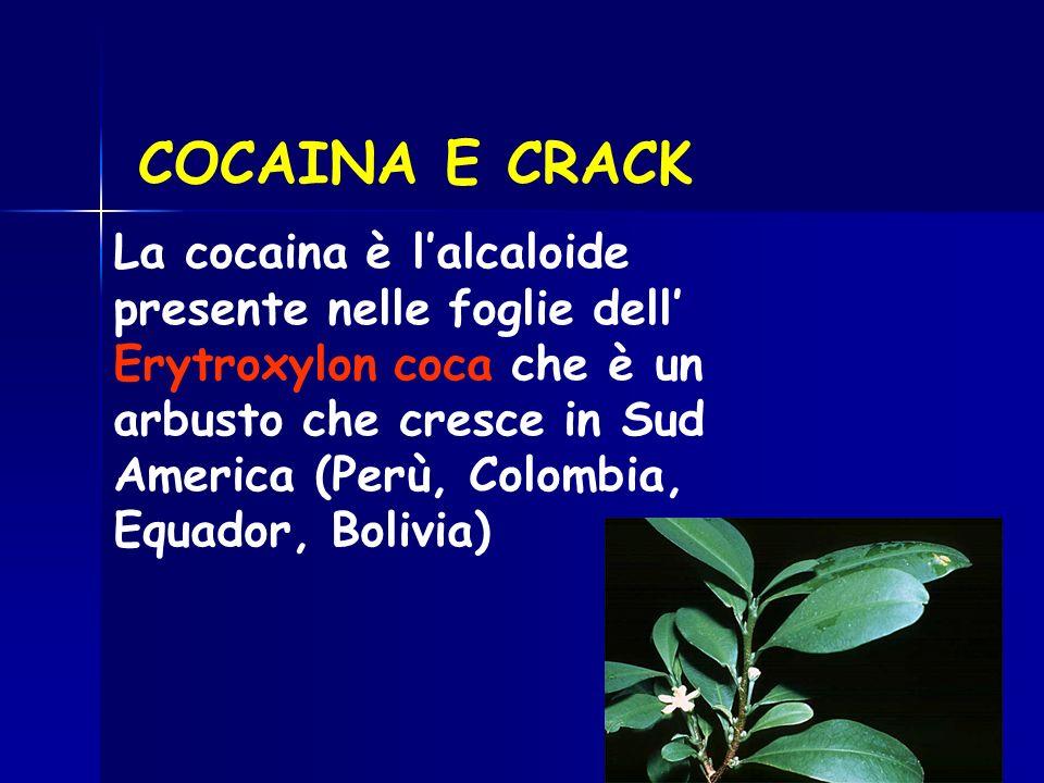 COCAINA E CRACK La cocaina è lalcaloide presente nelle foglie dell Erytroxylon coca che è un arbusto che cresce in Sud America (Perù, Colombia, Equado