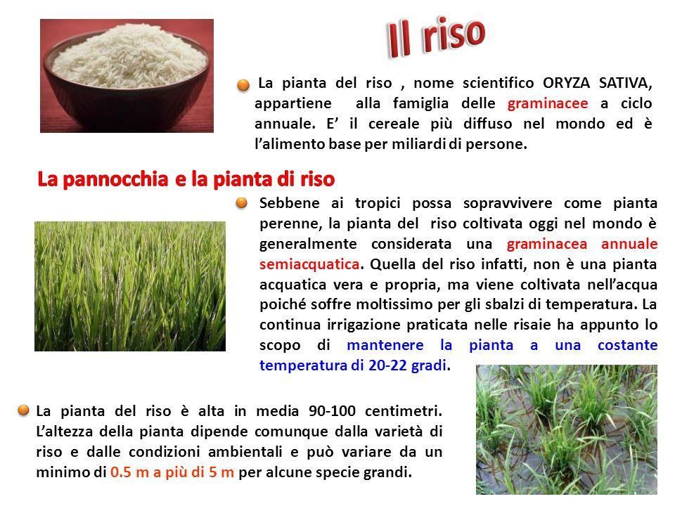 La pianta del riso, nome scientifico ORYZA SATIVA, appartiene alla famiglia delle graminacee a ciclo annuale. E il cereale più diffuso nel mondo ed è
