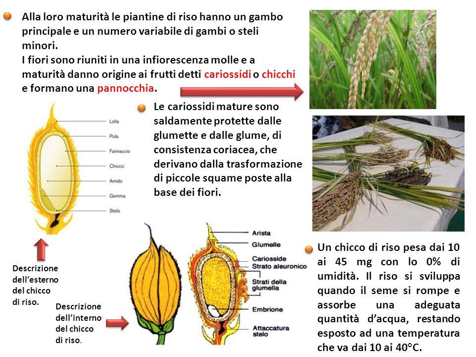 Alla loro maturità le piantine di riso hanno un gambo principale e un numero variabile di gambi o steli minori. I fiori sono riuniti in una infioresce