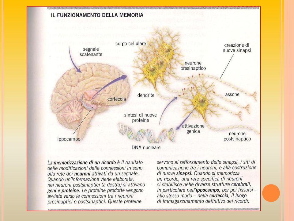 C OSA CAMBIA NEI NEURONI ? Se una sinapsi si attiva ripetutamente, allincirca nello stesso momento in cui si produce un potenziale dazione nel neurone