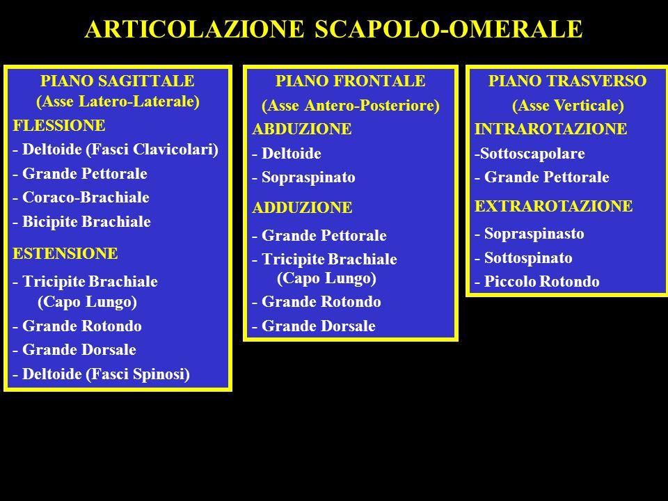 ARTICOLAZIONE SCAPOLO-OMERALE PIANO SAGITTALE (Asse Latero-Laterale) FLESSIONE - Deltoide (Fasci Clavicolari) - Grande Pettorale - Coraco-Brachiale -