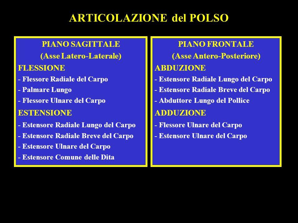 ARTICOLAZIONE del POLSO PIANO SAGITTALE (Asse Latero-Laterale) FLESSIONE - Flessore Radiale del Carpo - Palmare Lungo - Flessore Ulnare del Carpo ESTE